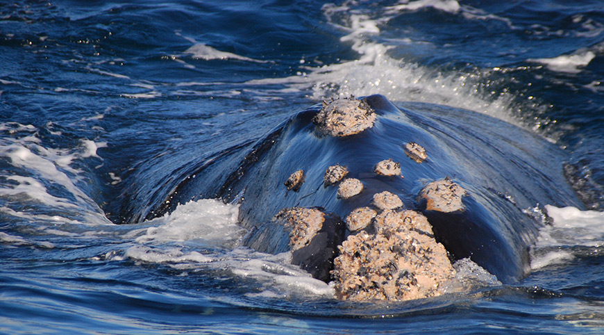 A Southern Right Whale at Hermanus