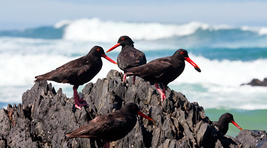 Black Oyster Catchers on the rocks at Rooiels