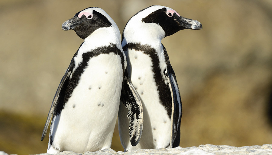 Penguins at Stony Point, Bettys Bay