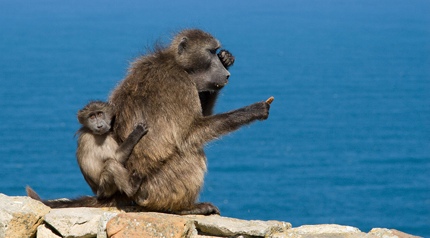 Baboons at Cape Point Nature Reserve spotted en route on the Cape Peninsula Tour