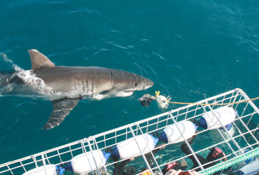 Shark Cage Diving Tours, Gansbaai, Cape Town