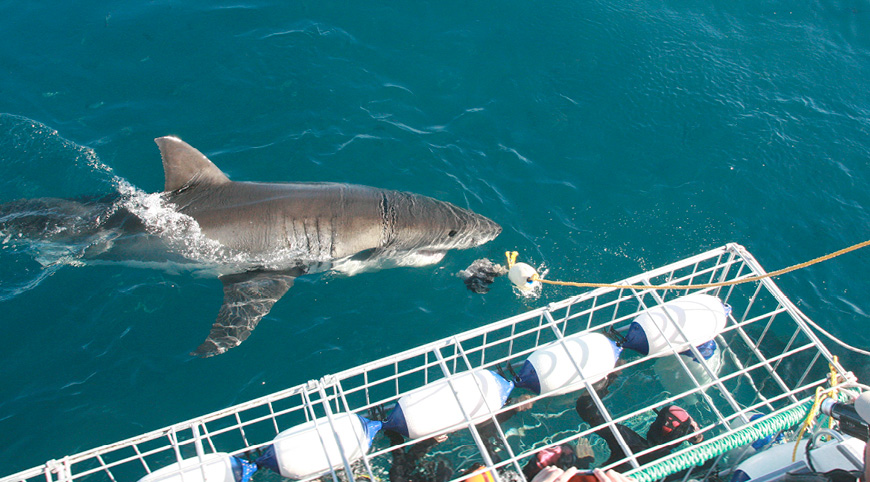 Shark Cage Diving Tours, Gansbaai, Cape Town