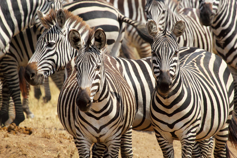 Herd of common zebras
